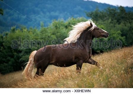 Black Forest horse on meadow - Stock Photo