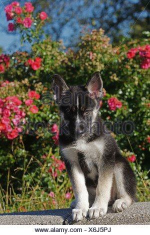 mixed breed dog (Canis lupus f. familiaris), nine weeks old husky shepherd mixed breed dog sitting in front of red roses - Stock Photo