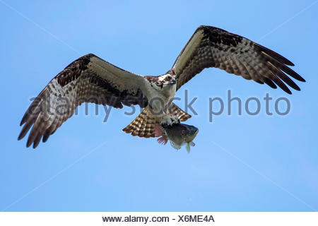 osprey, fish hawk (Pandion haliaetus), flying with caught Tilapia, USA, Florida, Kissimmee - Stock Photo