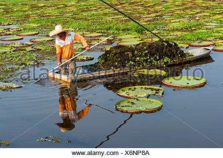 Pantaneiro cleaning the water with Victorian water lilies (Victoria regia), Porto Joffre, Pantanal, Mato Grosso, Brazil - Stock Photo