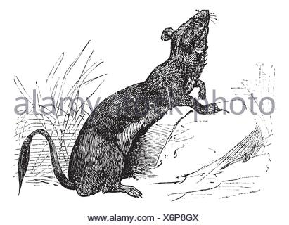 Stoat Mustela erminea or Ermine or short-tailed weasel in summer pelt vintage engraving  Old engraved illustration of Ermine in summer pelt - Stock Photo