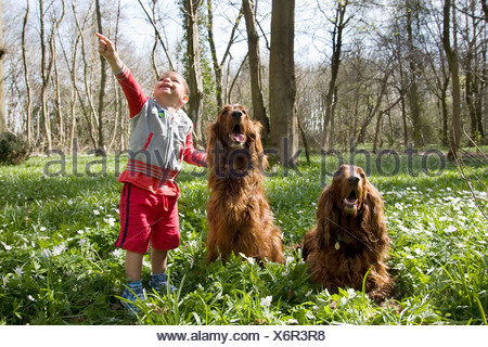 little boy playing with two irish setters in woods - Stock Photo