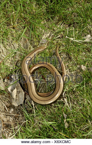Slow-worm - Anguis fragilis - Stock Photo