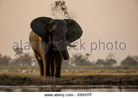 An elephant, Loxodonta africana, mudding itself. - Stock Photo