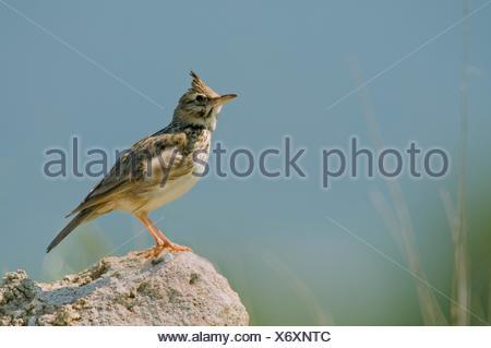 Crested Lark (Galerida cristata), Crete - Stock Photo