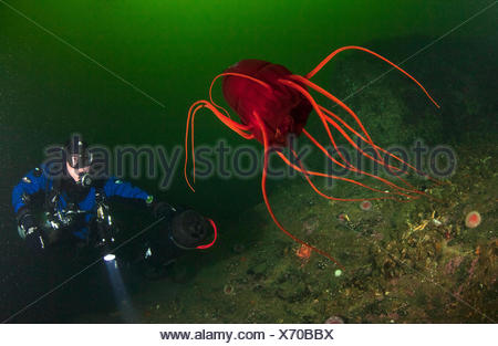 A technical diver observes a deep water helmet jellyfish, Periphylla periphylla, at a depth of 30 meters. The jellyfish usually lives in the deep sea and can not be observed by divers. In some fjords, however, the animal swims close to the surface. - Stock Photo