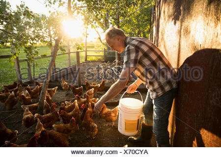 Male farmer feeding chickens in chicken coop - Stock Photo