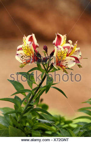 Peruvian lily (Alstroemeria spec.), with red and yellow flowers - Stock Photo
