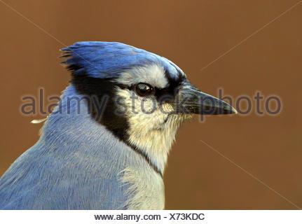 A portrait of a Blue Jay, Cyanocitta cristata, in Saskatoon, Saskatchewan, Canada - Stock Photo