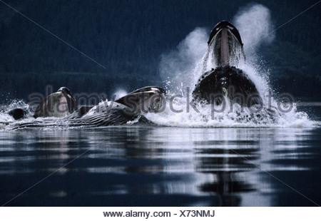 Humpback Whales bubblenet feeding,Tenakee Inlet, Southeast. Alaska - Stock Photo
