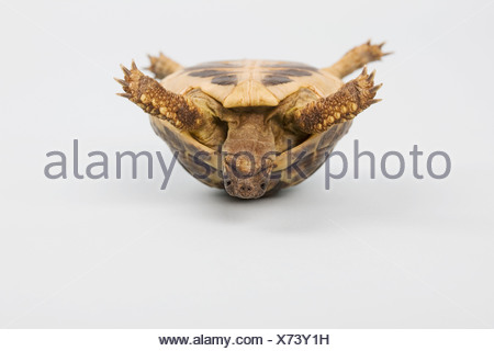 Tortoise upside down, studio shot - Stock Photo