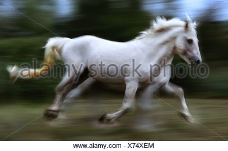 Camargue horse running France - Stock Photo