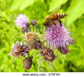 Acker-Kratzdistel, Ackerkratzdistel, Ackerdistel, Acker-Distel (Cirsium arvense), mit Honigbiene, Deutschland | Canada thistle,  - Stock Photo