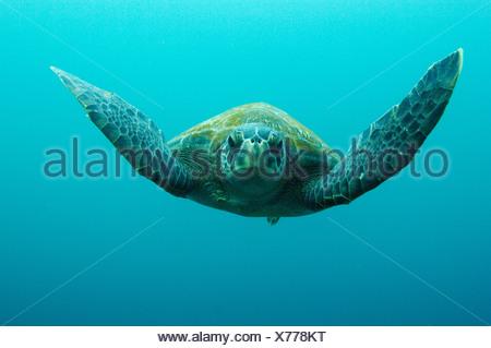 Green Turtle, Central Isles, Galapagos Islands, Ecuador, South America. - Stock Photo