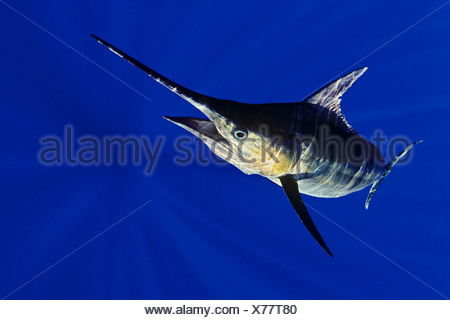 Blue Marlin, Makaira nigricans, Big Island, Hawaii, USA - Stock Photo