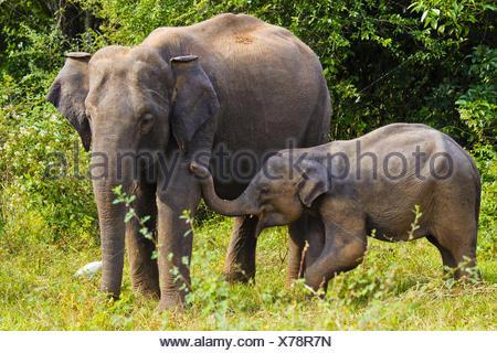 Asian Elephant - Wasgomuwa NP, Sri-Lanka - Stock Photo