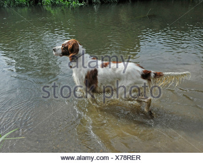 A red and white setter stalking in a river - Stock Photo