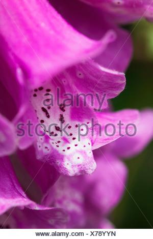 Digitalis purpurea, Foxglove, Pink. - Stock Photo