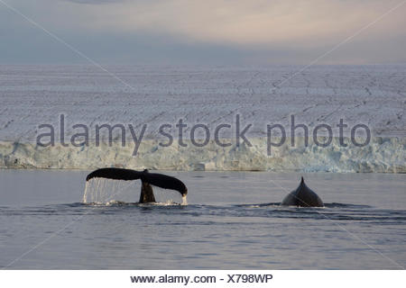 Two Humpback Whales (Megaptera novaeangliae) in front of Austfonna, Europe's largest glacier, Hinlopenstretet - Stock Photo