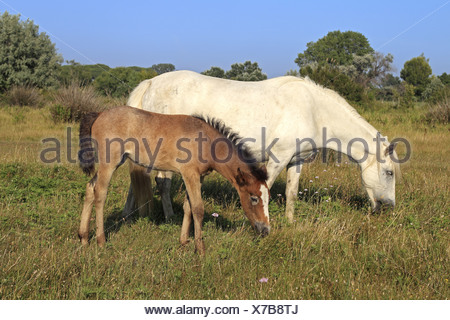 Camargue Horse, mare and foal, grazing on grass, Saintes Marie de la Mer, Camargue, Bouches du Rhone, France - Stock Photo