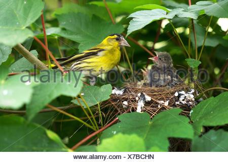 Erlenzeisig, Erlen-Zeisig (Carduelis spinus), Maennchen am Nest mit Jungen, Deutschland, NRW, Bielefeld-Sennestadt | spruce sisk - Stock Photo