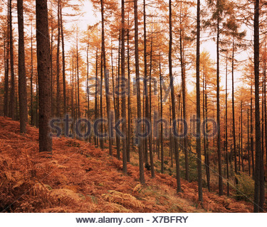 Pine trees in autumn at sunset - Stock Photo