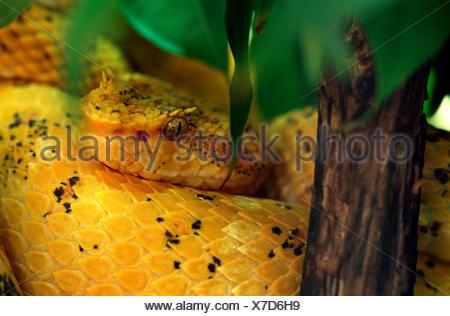 eyelash viper, horned palm viper, eyelash palm pit viper (Bothrops schlegelii, Bothriechis schlegelii), lying on the ground rolled up - Stock Photo