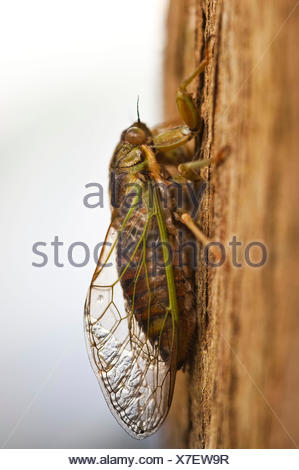 Cicada with stuck together wings on bark in New Zealand - Stock Photo