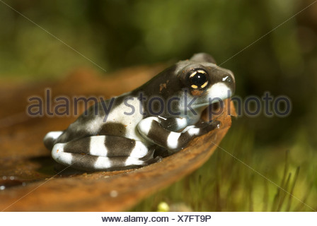 Amazonian canopy frog (Phrynohyas resinifictrix, Trachycephalus resinifictrix), on bark - Stock Photo