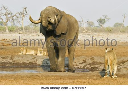 African Elephant and lions - Stock Photo