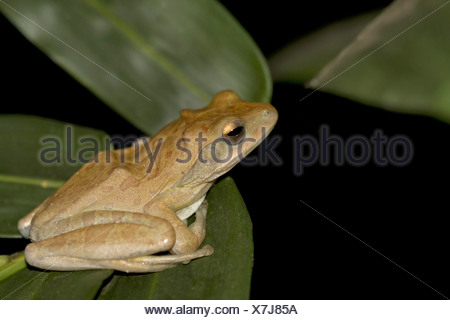 Common tree frog, Polypedates leucomystax, Goa, India - Stock Photo