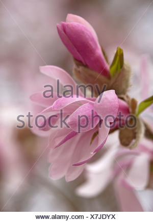 Magnolia x loebneri 'Leonard Messel', Pink flower and bud opening on a tree. - Stock Photo