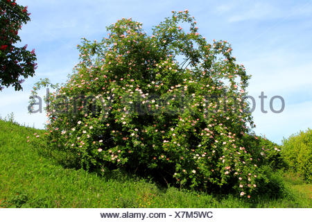 dog rose (Rosa canina), blooming bush, Germany - Stock Photo