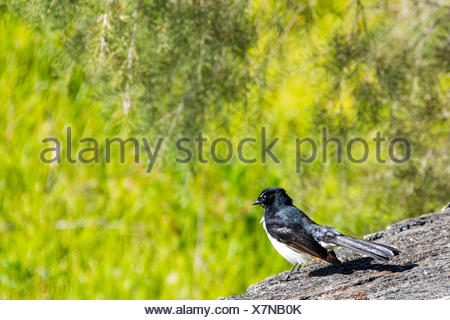 willie wagtail (Rhipidura leucophrys) bird perched on rock, Australia - Stock Photo