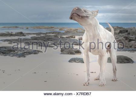 Hairless Shair-pei standing on beach - Stock Photo
