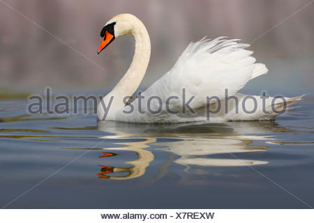 mute swan (Cygnus olor), swimming, Germany - Stock Photo