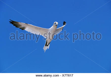 Northern Gannet, sula bassana, Adult in Flight against Blue Sky, Bonaventure Island in Quebec - Stock Photo