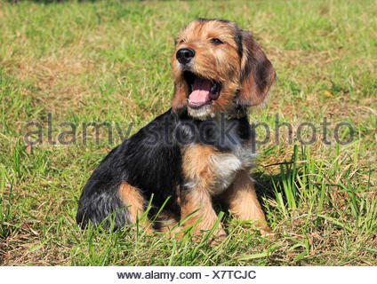 beagle terrier mixed-breed, female, 15 weeks old - Stock Photo