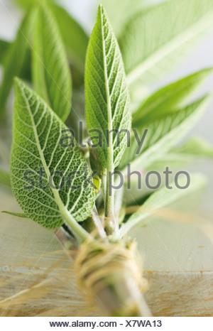 Bunch of fresh sage - Stock Photo