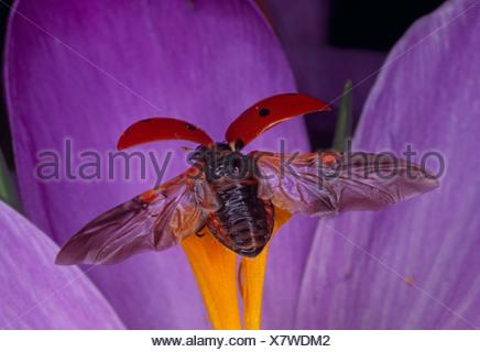 Seven-Spot Ladybird (Coccinella Septumpunctata) in flight - Stock Photo