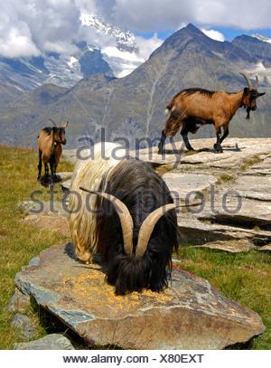 He-goat - Stock Photo