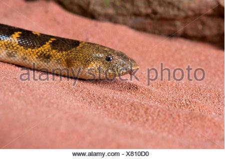Kenyan sand boa (Gongylophis colubrinus loveridgei), portrait - Stock Photo