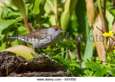 Moenchsgrasmuecke, Moenchs-Grasmuecke (Sylvia atricapilla), Weibchen auf einer Baumwurzel, Deutschland, Mecklenburg-Vorpommern   - Stock Photo