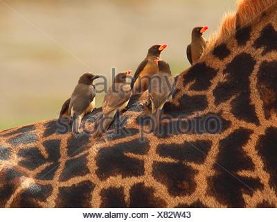 giraffe (Giraffa camelopardalis), red-billed oxpecker sitting of a giraffe , Tanzania, Ngorongoro Conservation Area - Stock Photo