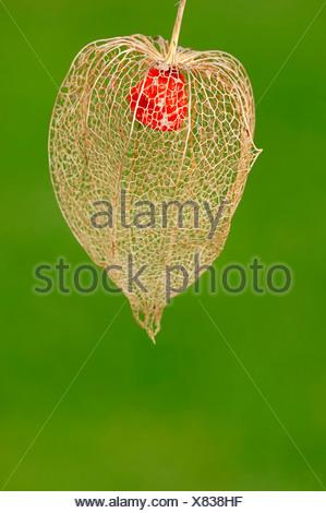 Japanese Lanterns, fruit / (Physalis franchetii, Physalis alkekengi) / Chinese Lanterns - Stock Photo