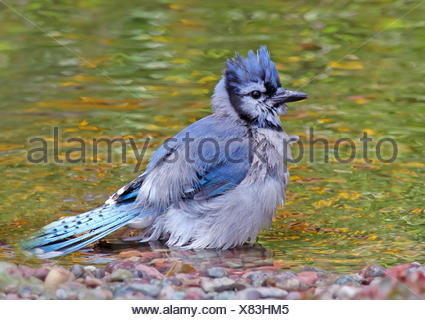 A Blue Jay, Cyanocitta cristata, bathes in a backyard pond, in Saskatoon, Saskatchewan, Canada - Stock Photo