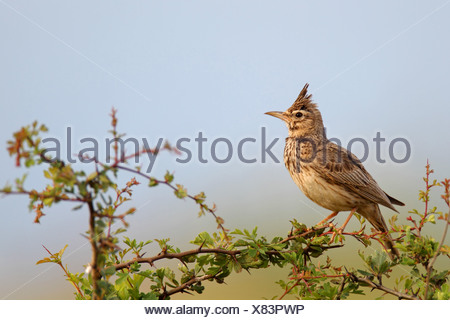 crested lark (Galerida cristata), male on a bush, Bulgaria, Kaliakra - Stock Photo