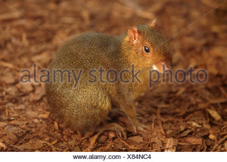 Red acouchi (Myoprocta acouchy), sitting on mulch - Stock Photo