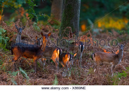 Fallow Deer (Dama dama). Does and fawns in last sunlight. Schleswig-Holstein - Stock Photo