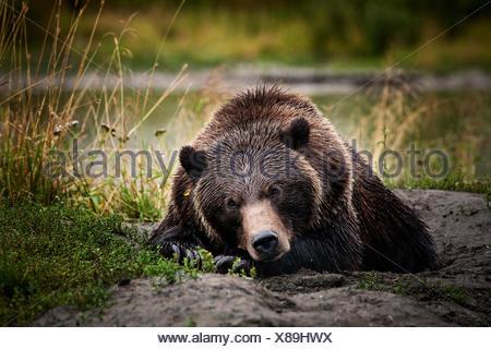 Grizzly Bear (Ursus arctos horribilis) lying on the ground, Valdez, Alaska, United States - Stock Photo